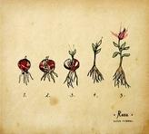 capa do Rosa [ Registo sonoro]